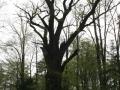 Památný dub letní v Choltické oboře
