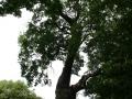 Dub letní u Klenovky